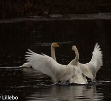 Swans by Hallvor