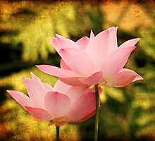 water lily Nymphaea Pink textured by Darren Peet