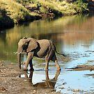 An Elephant Crossing by jozi1
