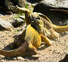 Land Iguanas Fighting by Justharry