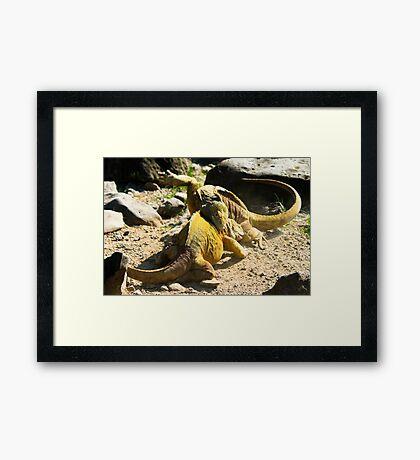 Land Iguanas Fighting Framed Print