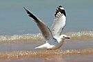 Silver Gull ~ Up Up And Away  by Robert Elliott