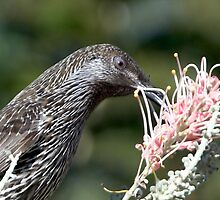 Little Wattle Bird ~ Concentration  by Robert Elliott