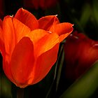 Red Tulip by cclaude