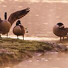Orton Canada Geese by Neil Bygrave (NATURELENS)