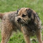 Border Terrier by EmilyWednesday