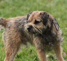 Border Terrier by EmilyWednesday