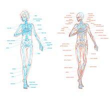 Human Skeletal and Muscular Anatomy Photographic Print
