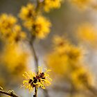 Chinese Witch Hazel by Anne Gilbert