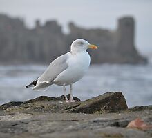 Seagull in Front of St Andrews Castle by Adrian Wale