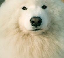 Samoyed by Mary-Ella Bowles