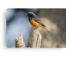 Black Redstart Canvas Print