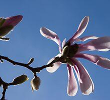 Pink Spring - Blue Sky and Magnolia Blossoms by Georgia Mizuleva