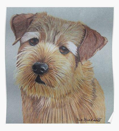 Norfolk Terrier Poster