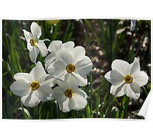 Sparkling, Fabulous White Narcissus with a Touch of Red Poster