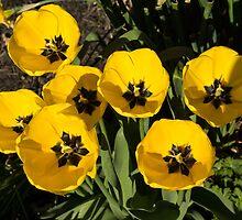 Exquisite Yellow Tulips Celebrating the Sun by Georgia Mizuleva