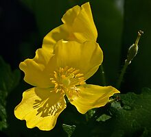 Yellow Wood Poppy - April 2013 by cclaude