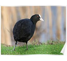 Common Coot Poster