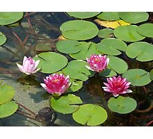 Water Lily Quartet Photographic Print