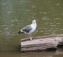 SEAGULL ON A LOG by Jack Catford