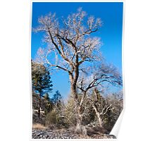 Old Cottonwood in Winter Poster