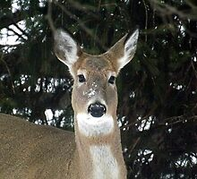 Oh Deer! by Timothy  Ruf