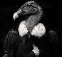 Andean Condor by Dianne English