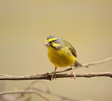 Green singing finch by Dominika Aniola