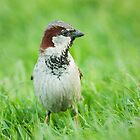 House Sparrow by Dominika Aniola