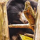 Sloth Bears are Cool by Ian Phares