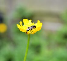 Fly on Buttercup by KateMarieT