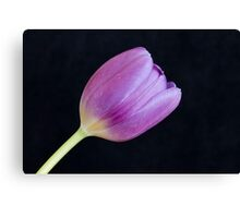 Single Tulip on Black Background Canvas Print