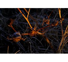 Desert Thorn Apple  Photographic Print