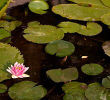 Lotus in Chiang Mai by Megan Chevis