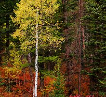 Lone Aspen in Fall by Chad Dutson