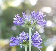 Agapanthus Bright by SunshineKaren
