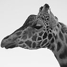 Reticulated x Rothschild Giraffe by Lars