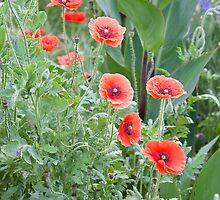Poppies Abound by SunshineKaren