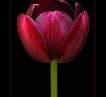 Cafe Noir Tulip by didibaev