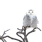 High Key Snowy Owl 4x6 by Heather Pickard