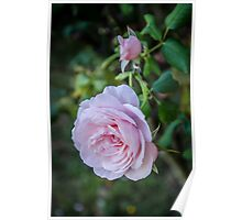 Pink rose, and a bud Poster