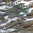 Estes Park Pine by Robert Meyers-Lussier