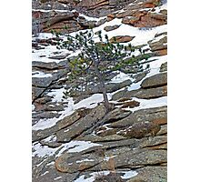 Estes Park Pine Photographic Print