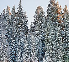 Vail Mountain Forest Study 3 by Robert Meyers-Lussier
