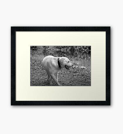 GOLDEN LABRADOR Framed Print