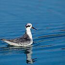 Grey Phalarope Facing Right by Sue Robinson