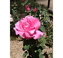 Roses in the garden before terrible heatwave. Mt. Pleasant S.A. Photographic Print