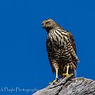 Brown Goshawk by Rick Playle