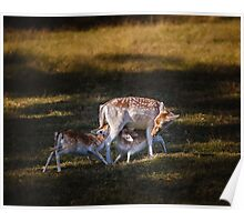 Deer with Fawns feeding Poster