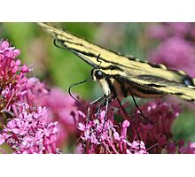 Swallowtail #3 Photographic Print